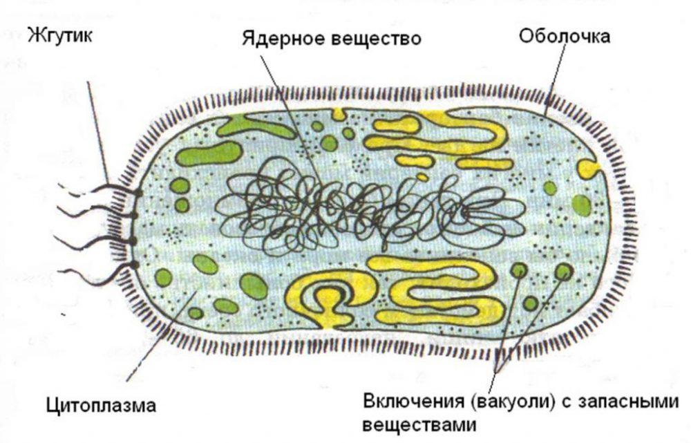 Жгутиковые бактерии - описание, особенности и интересные факты