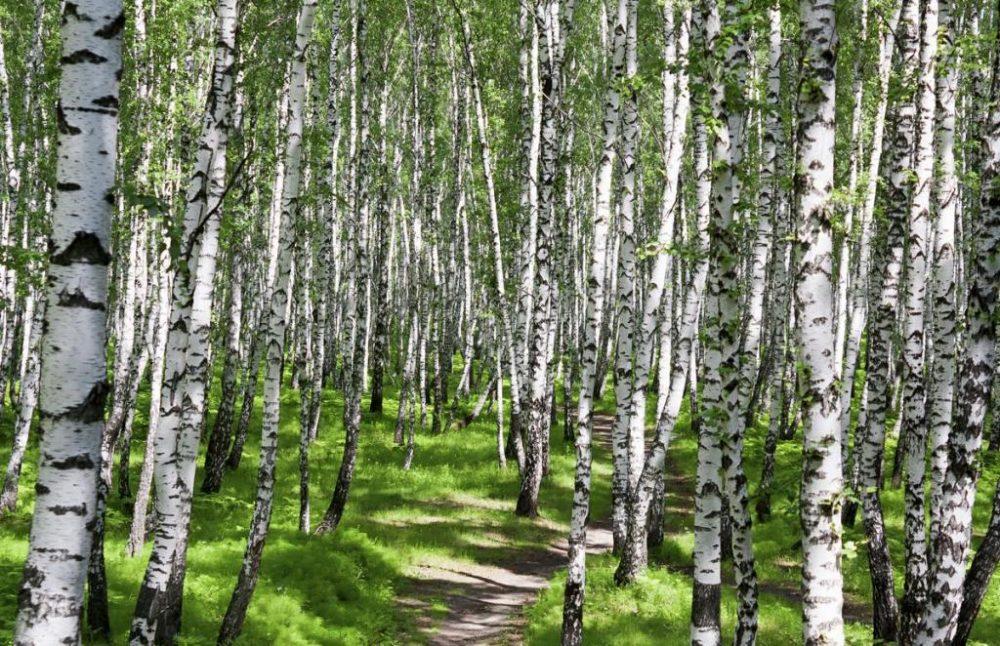 Дихотомическое ветвление: описание. Типы ветвлений у растений