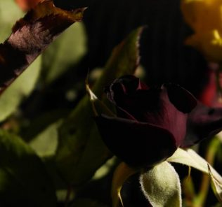 Описание розы в научном стиле. Полезные свойства растения