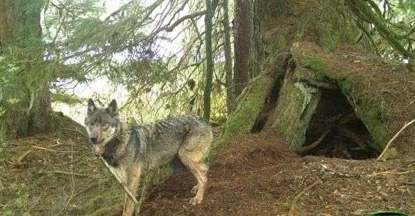 Как называется жилище волка? Как оно выглядит?